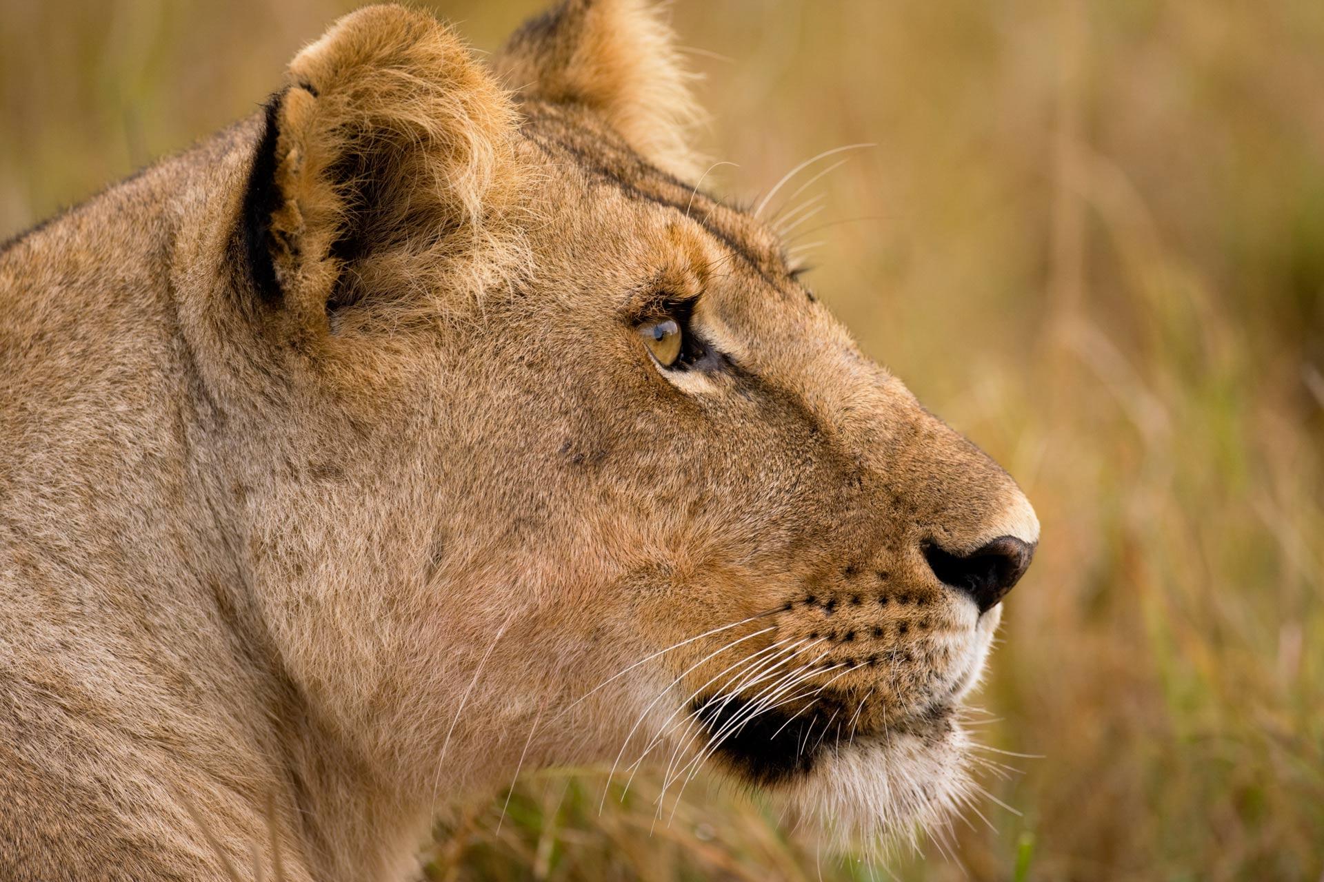 Web optimized-Original---scott_stulberg_lioness_kenya-400ko.jpg